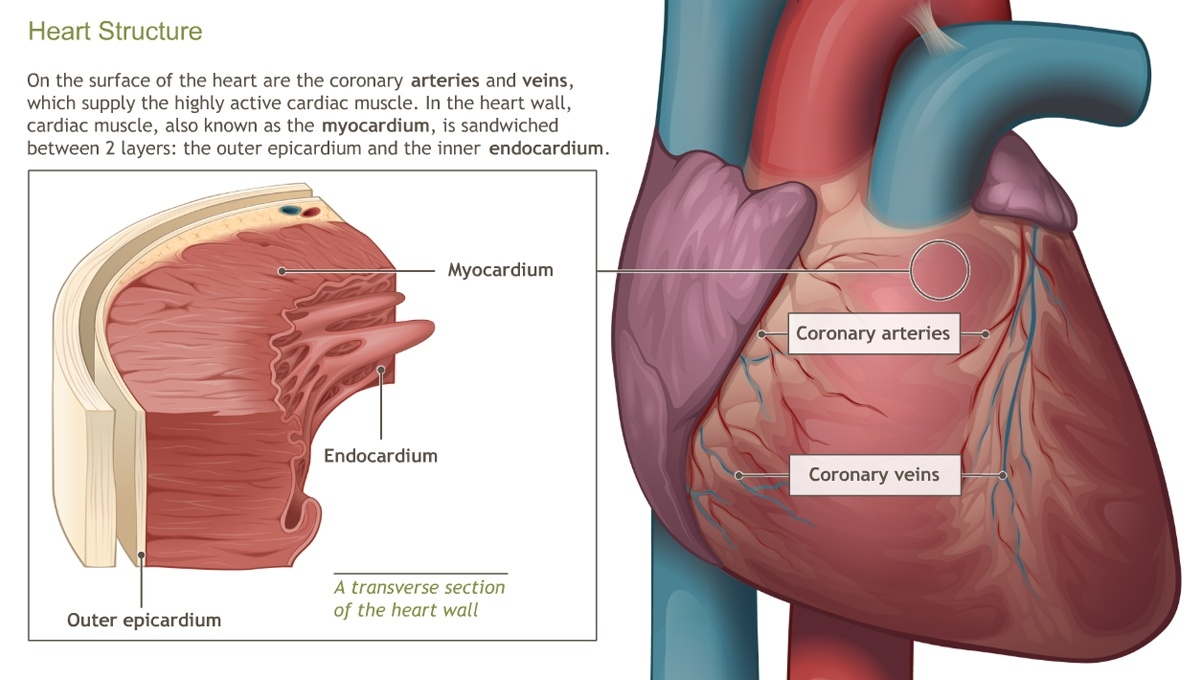 Understanding The Anatomy Of The Cardiovascular System Adam Ondemand