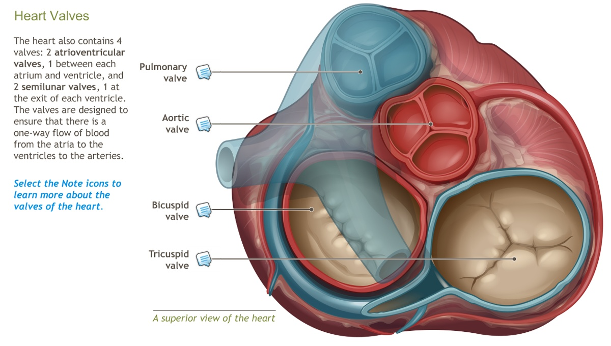 Learning The Heart Anatomy Image Collections Human Body Anatomy
