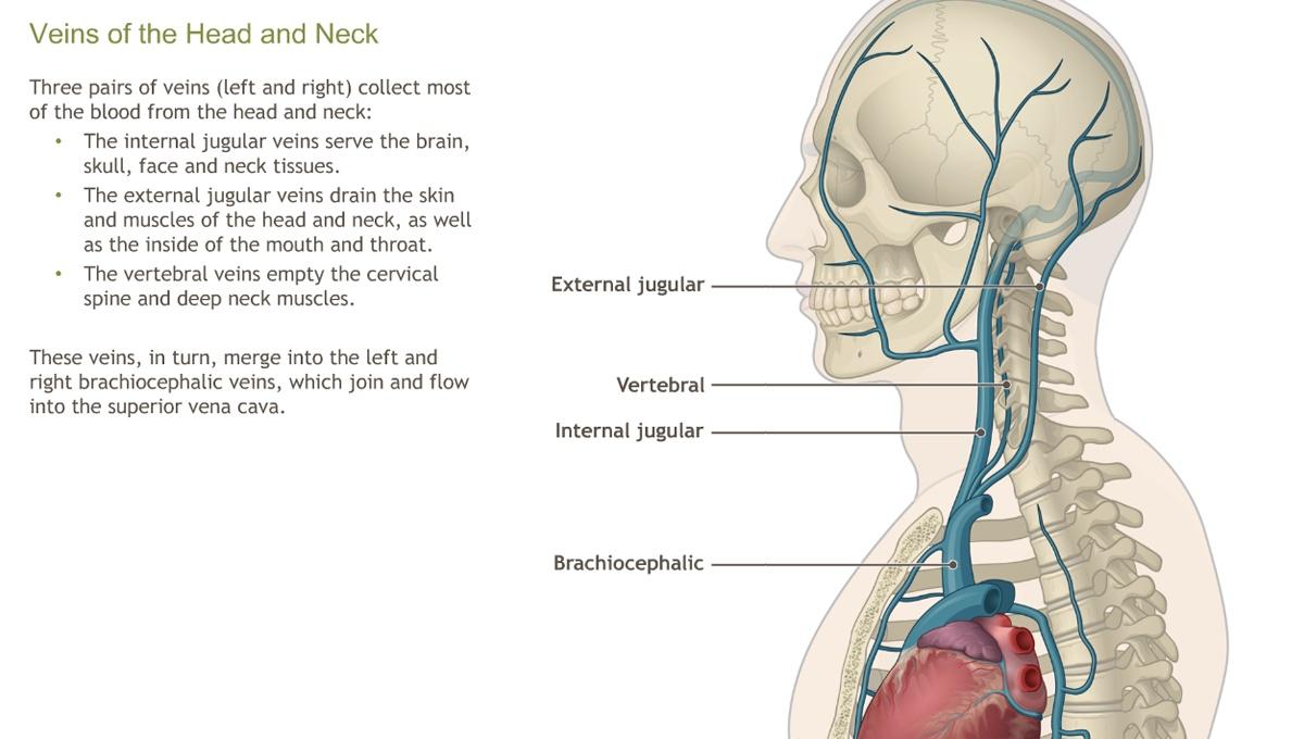 Understanding The Anatomy Of The Cardiovascular System Adam Ondemand