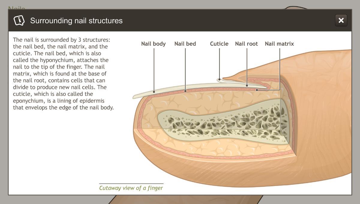 Understanding The Anatomy Of The Skin Adam Ondemand