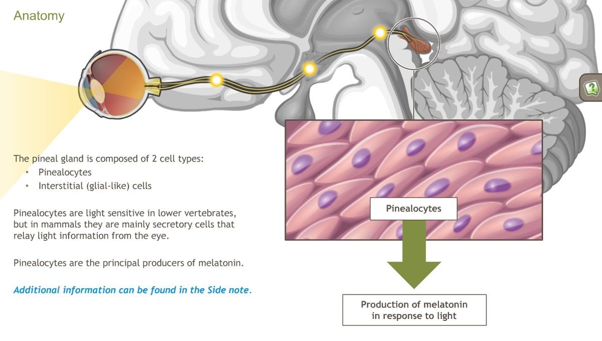 Understanding the Anatomy of the Endocrine System-A.D.A.M. OnDemand