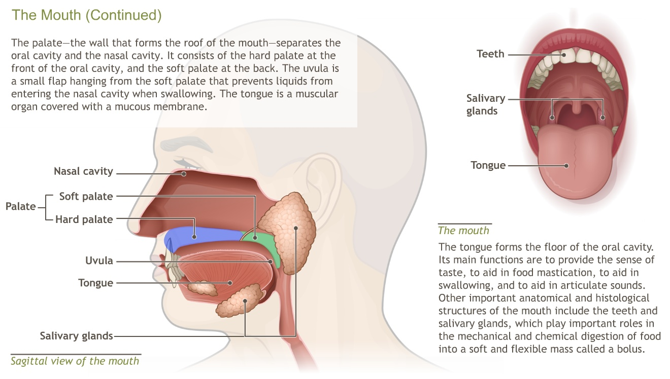 Roof Of The Mouth Anatomy Choice Image - human body anatomy