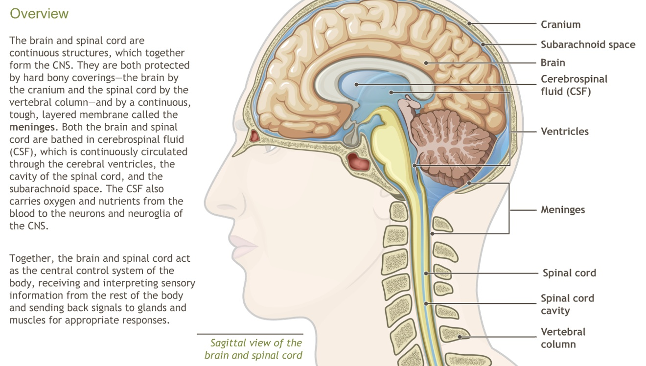 Understanding The Anatomy Of The Nervous System Adam Ondemand