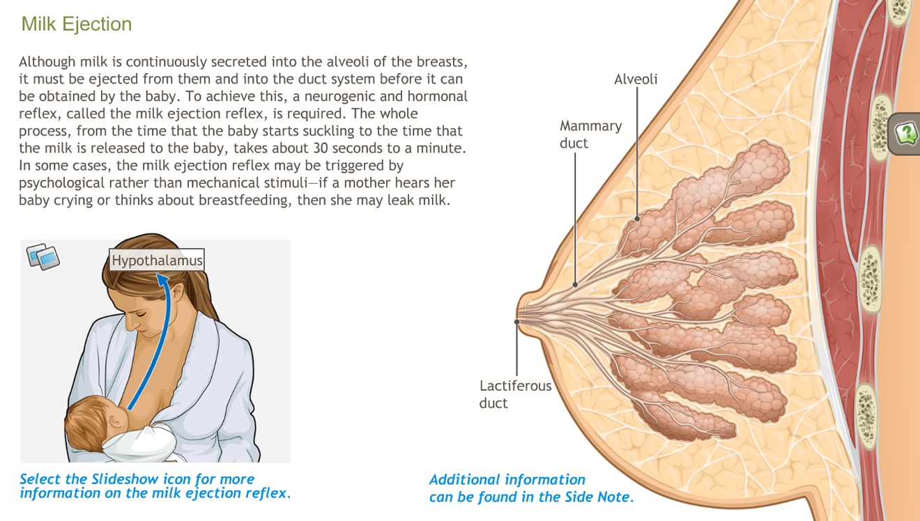 Anatomy and Physiology of the Breast-A.D.A.M. OnDemand