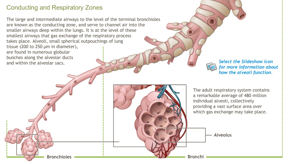 Understanding The Anatomy Of The Respiratory System Adam Ondemand