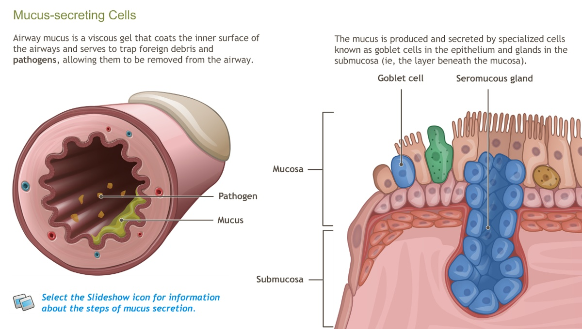 Understanding The Anatomy Of The Respiratory System Adam Ondemand
