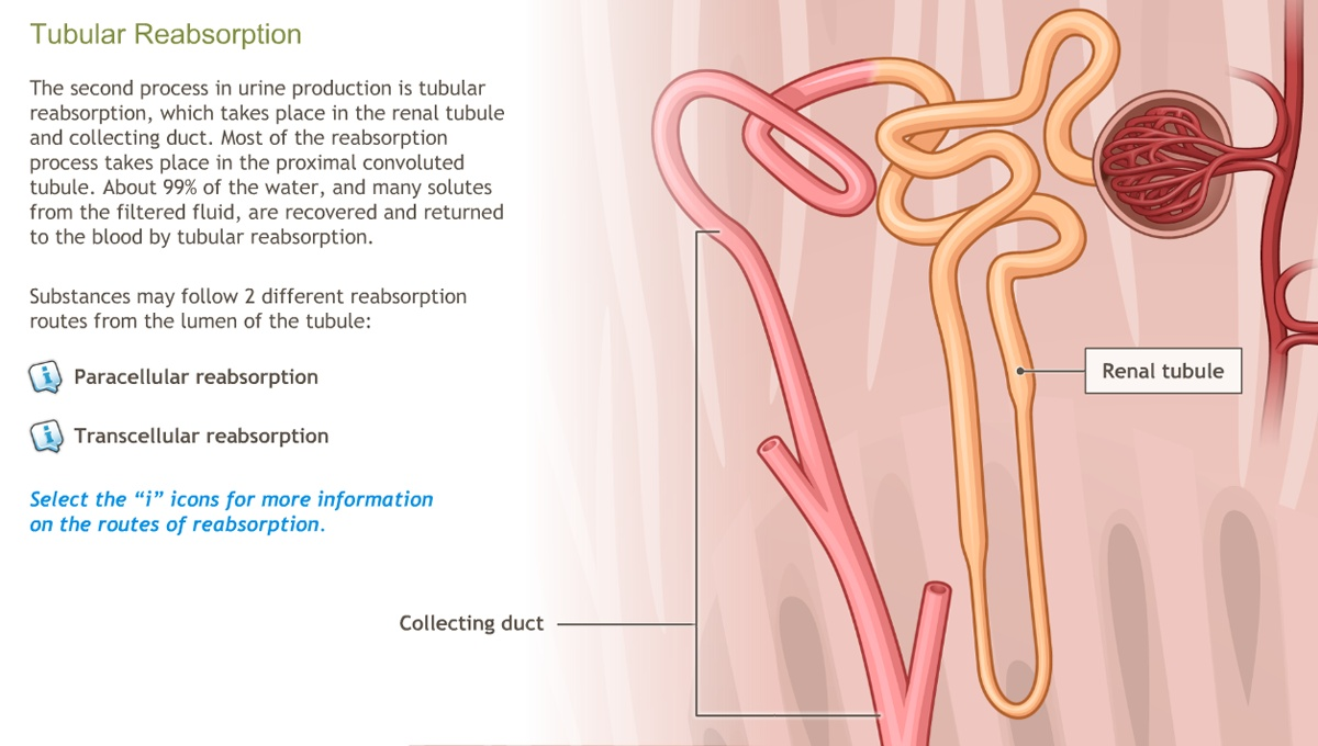 Understanding the Physiology of the Urinary System-A.D.A.M. OnDemand